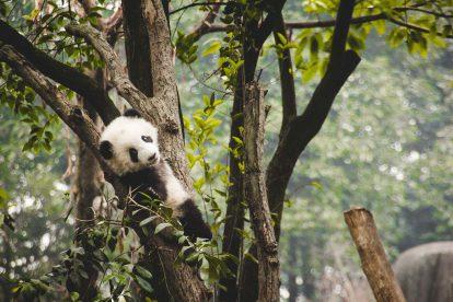 Panda dans un arbre