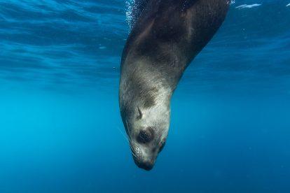 Otarie qui nage