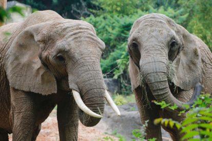 Eléphants du zoo d'Amnéville