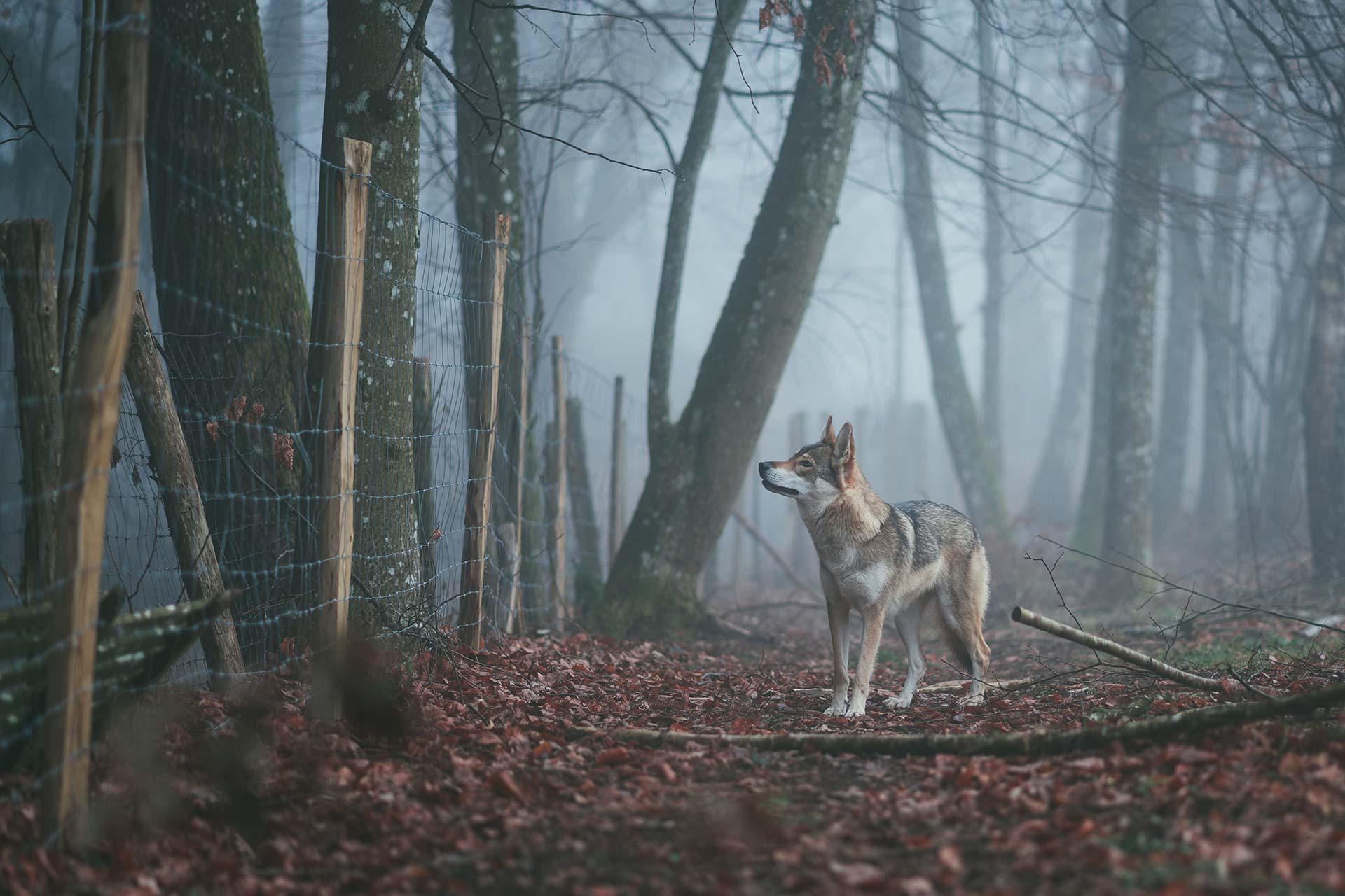 Loup dans une forêt
