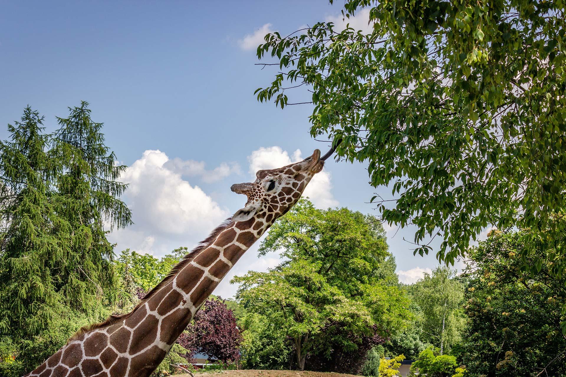 Girafe se nourrissant