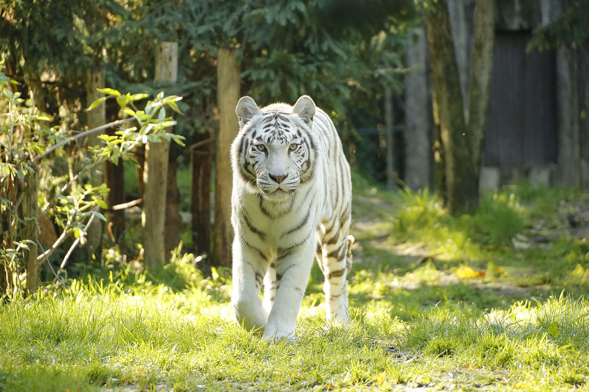 Tigre blanc du Zoo d'Amnéville