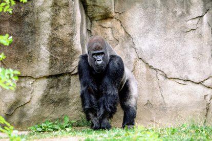 Gorille dans un parc