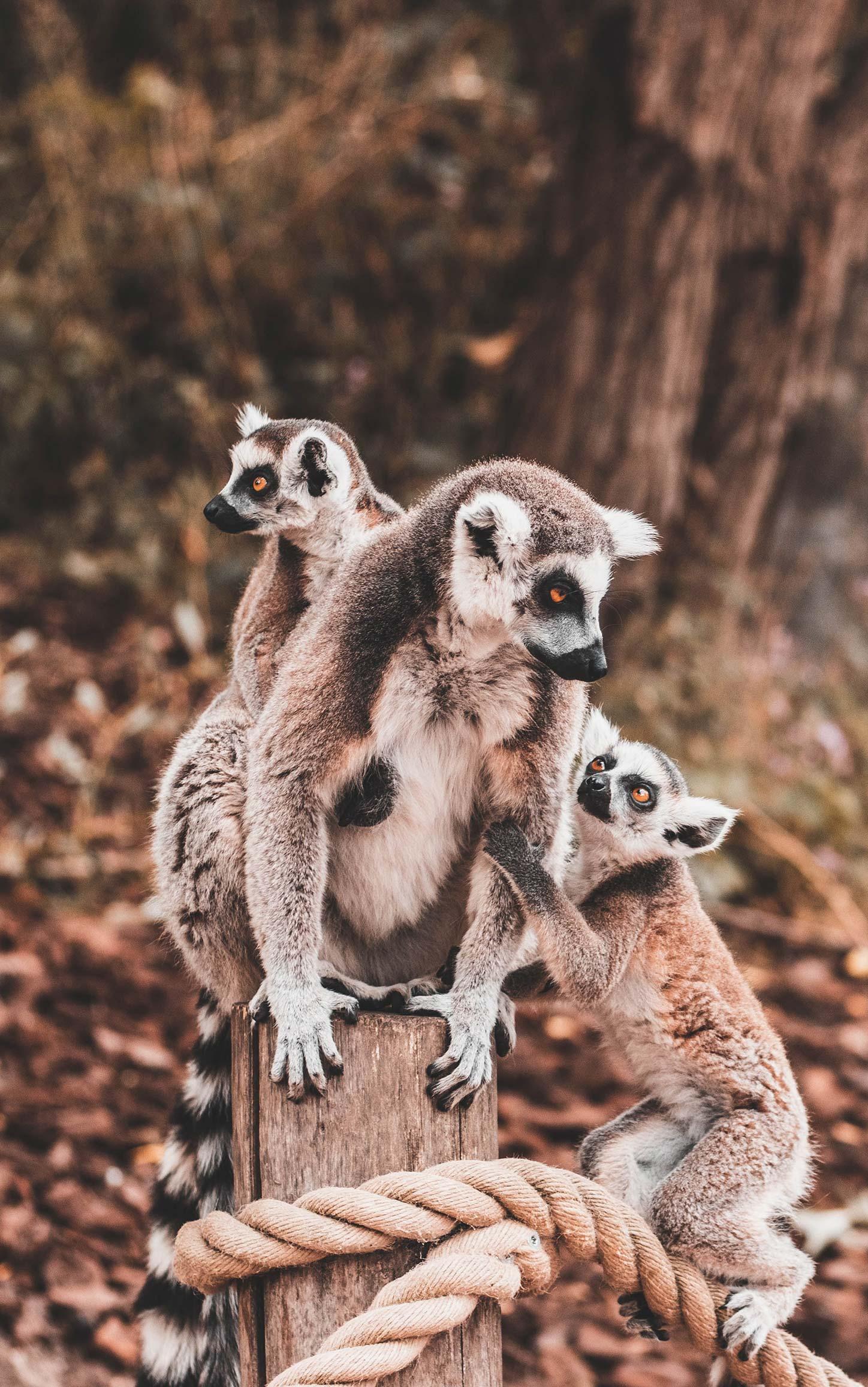 Famille de lémuriens