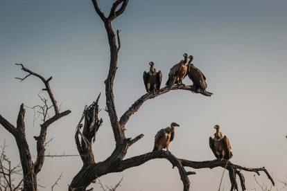 Vautours dans un arbre