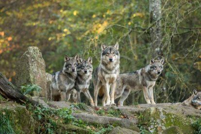 Meute de loups gris d'Europe