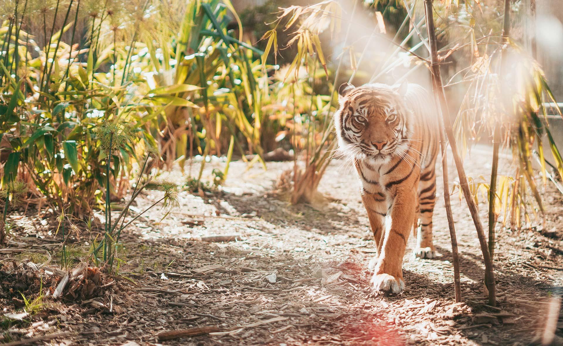 Tigre dans la nature