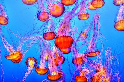 Méduses oranges dans un aquarium