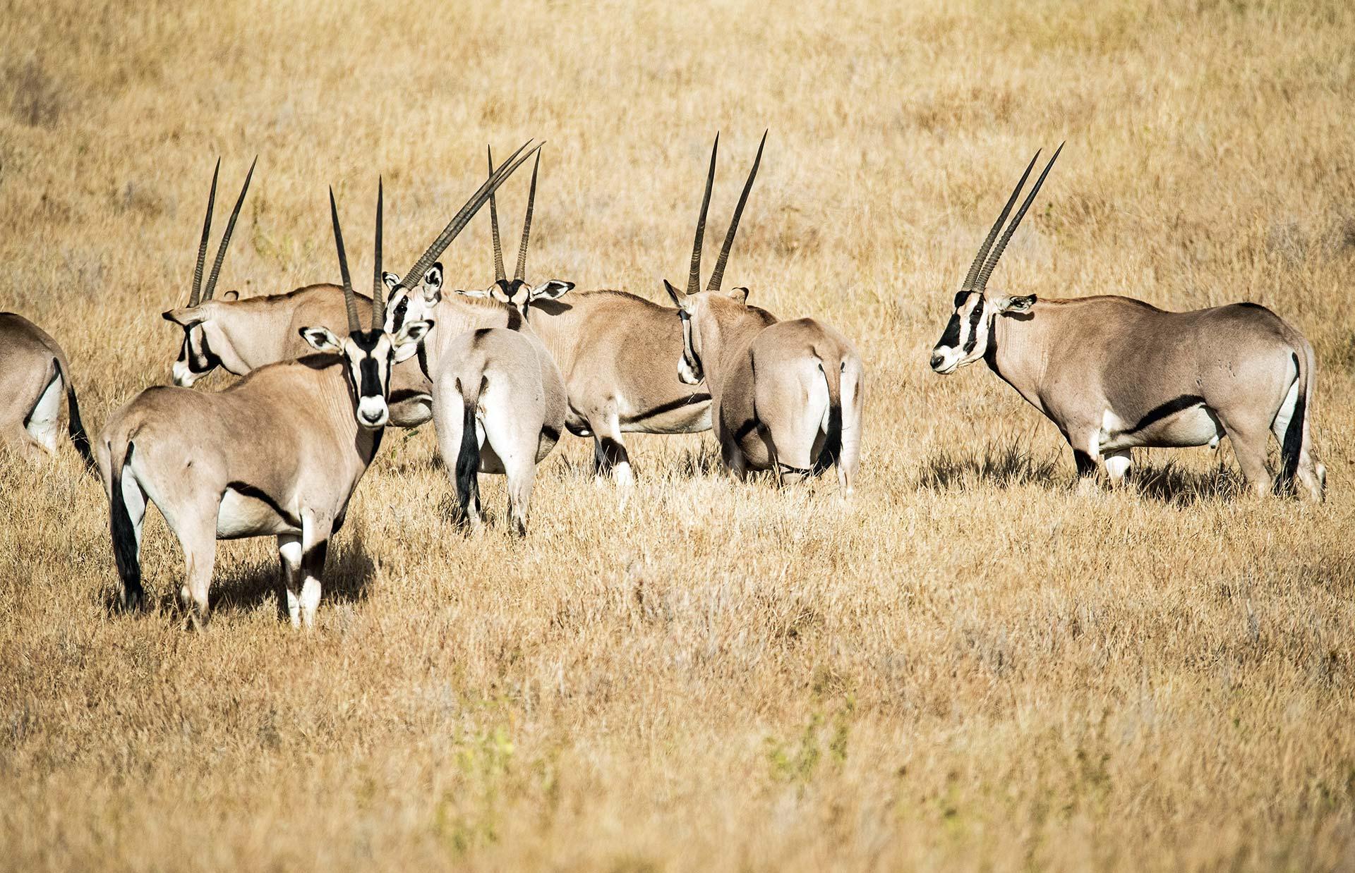 Plusieurs oryx dans la savane