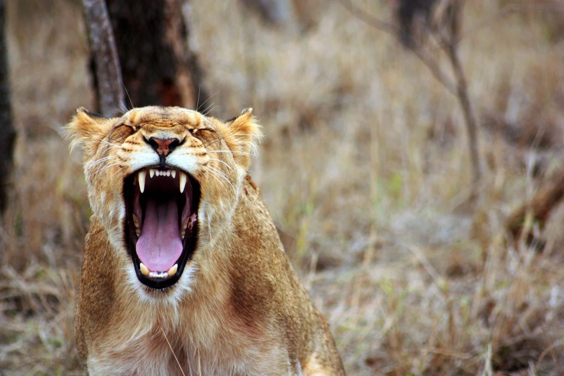 Lion qui rugit