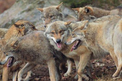 Loup gris du parc animalier des Pyrénées