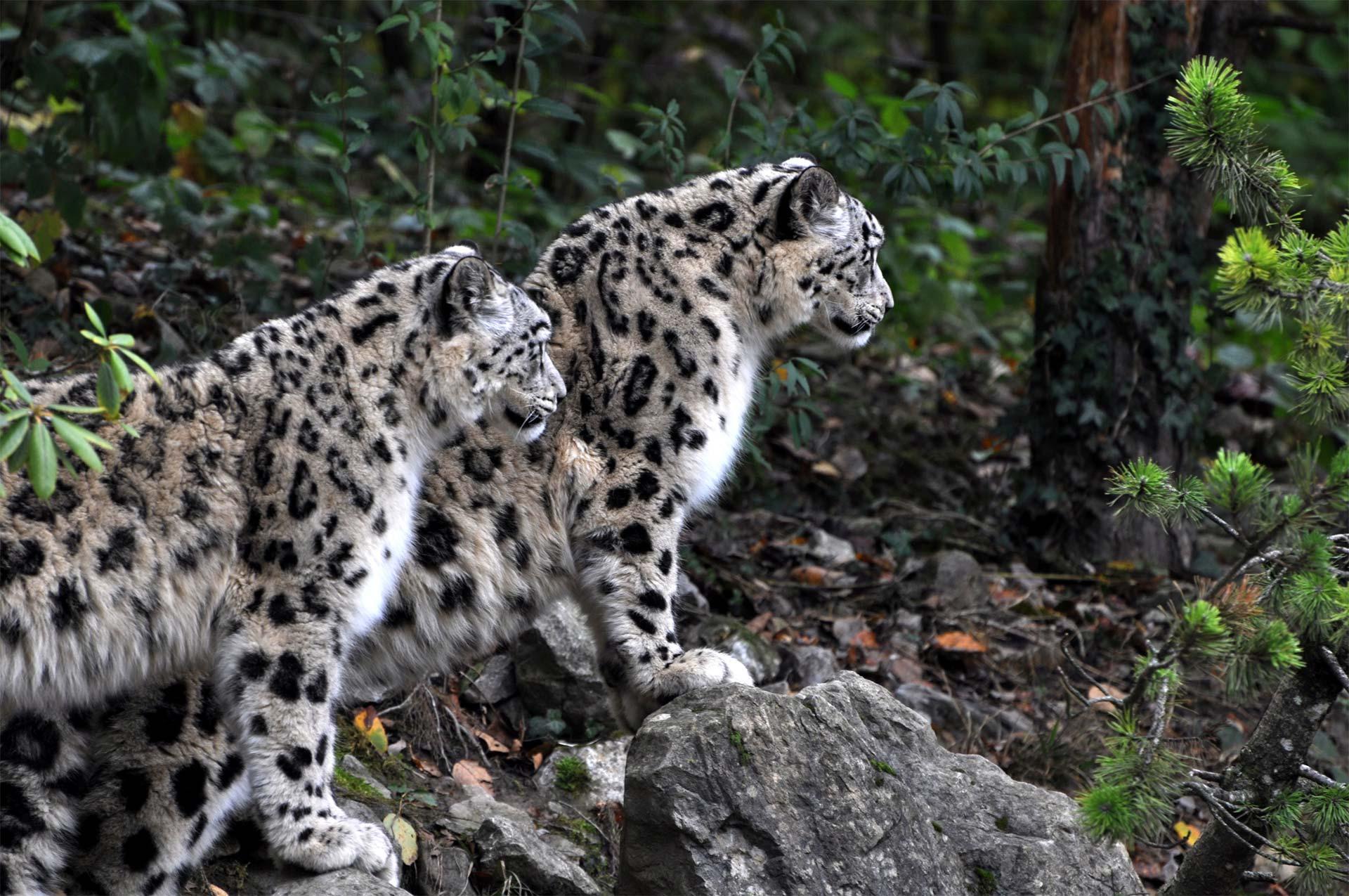 Deux panthères des neiges regardant au loin