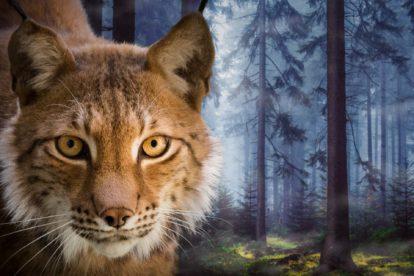 Lynx de Légendia Parc