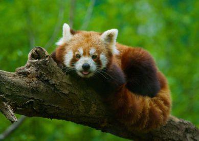 Panda roux du parc animalier des Pyrénées