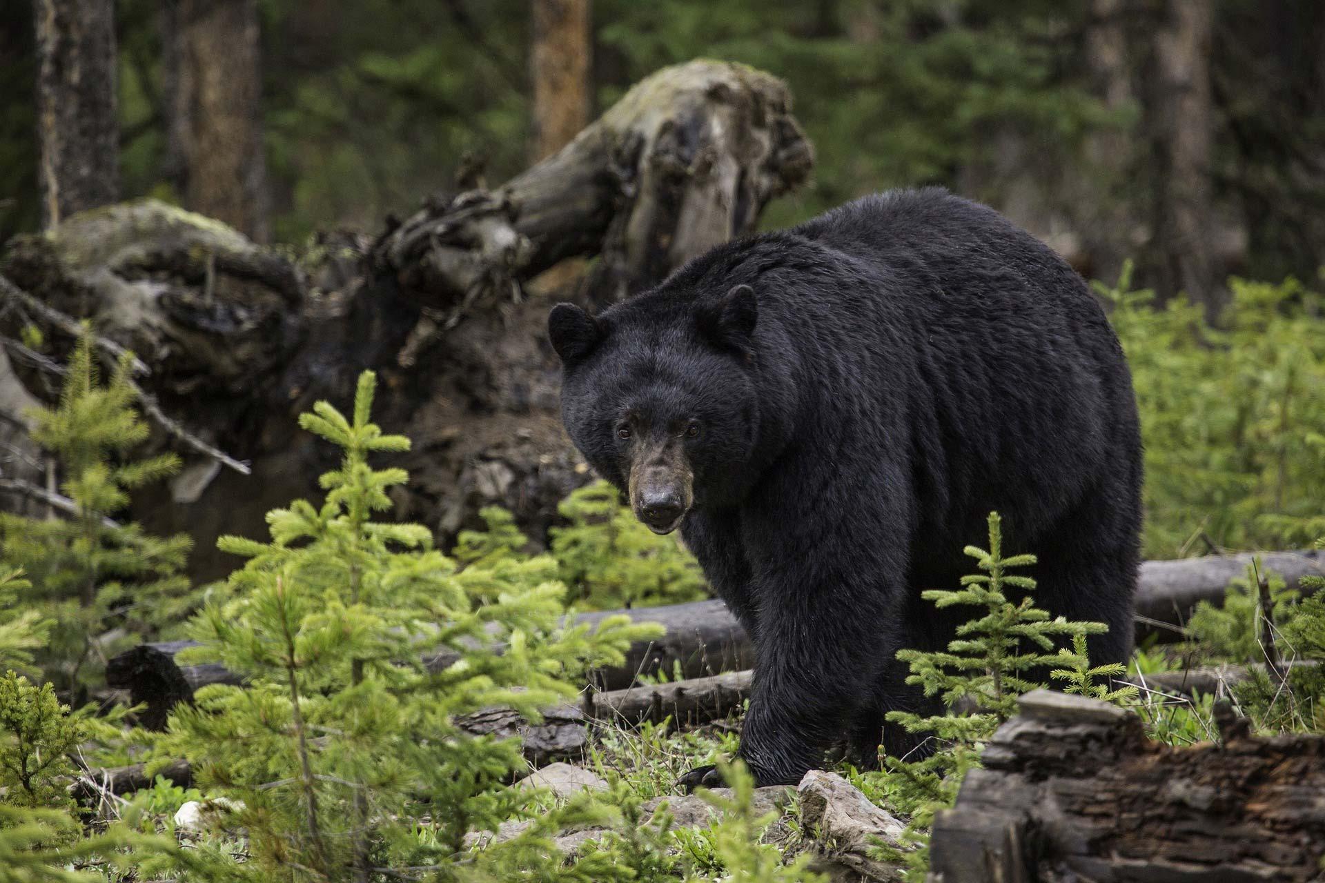 Ours noir dans une forêt