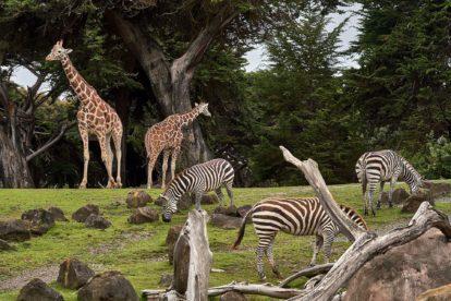 Girafes et zèbres
