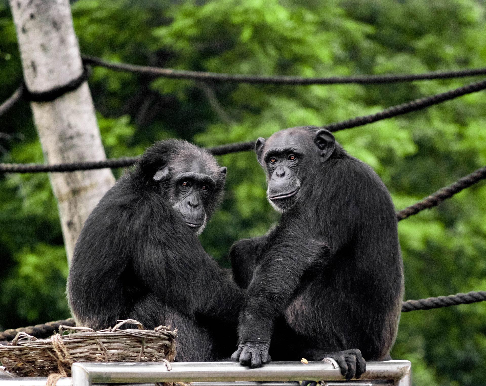 Deux chimpanzés