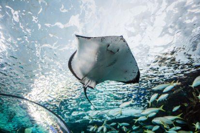 Raie dans un aquarium de l'Océarium du Croisic