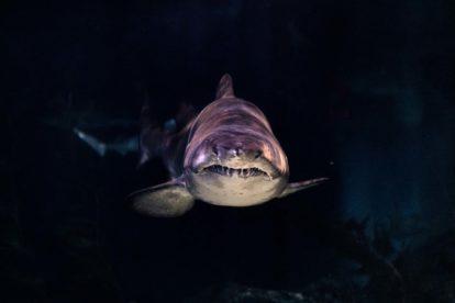Requin nageant dans la pénombre - Seaquarium du Grau du Roi