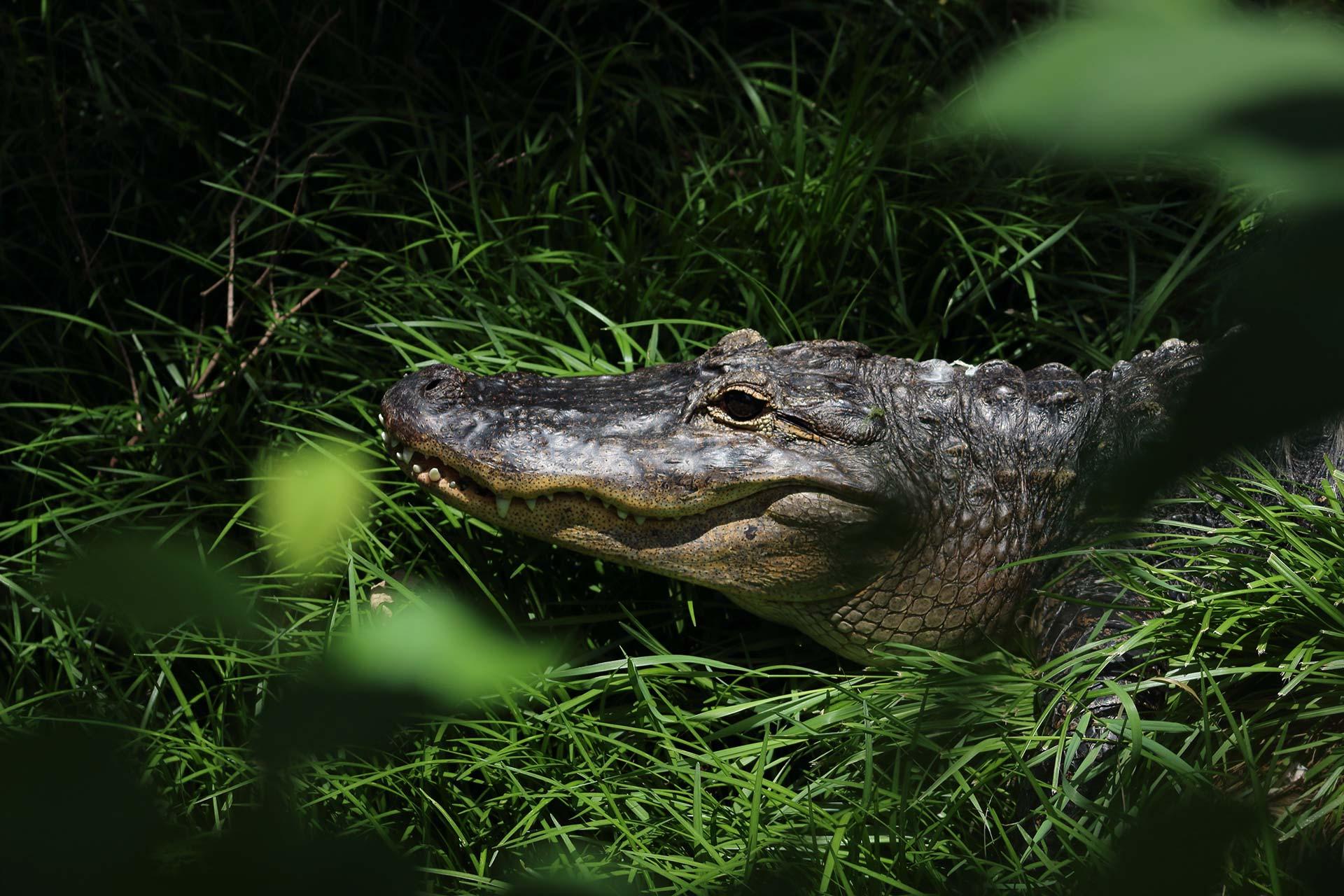 Crocodile dans l'herbe