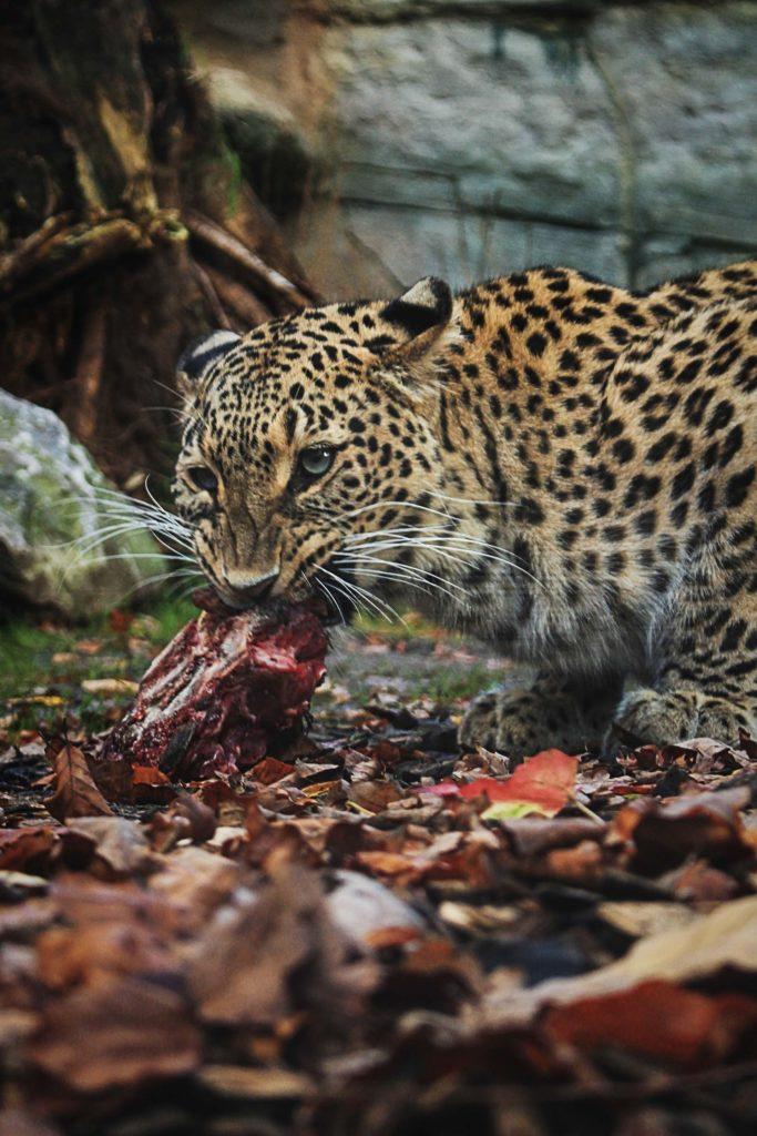 Léopard en train de manger