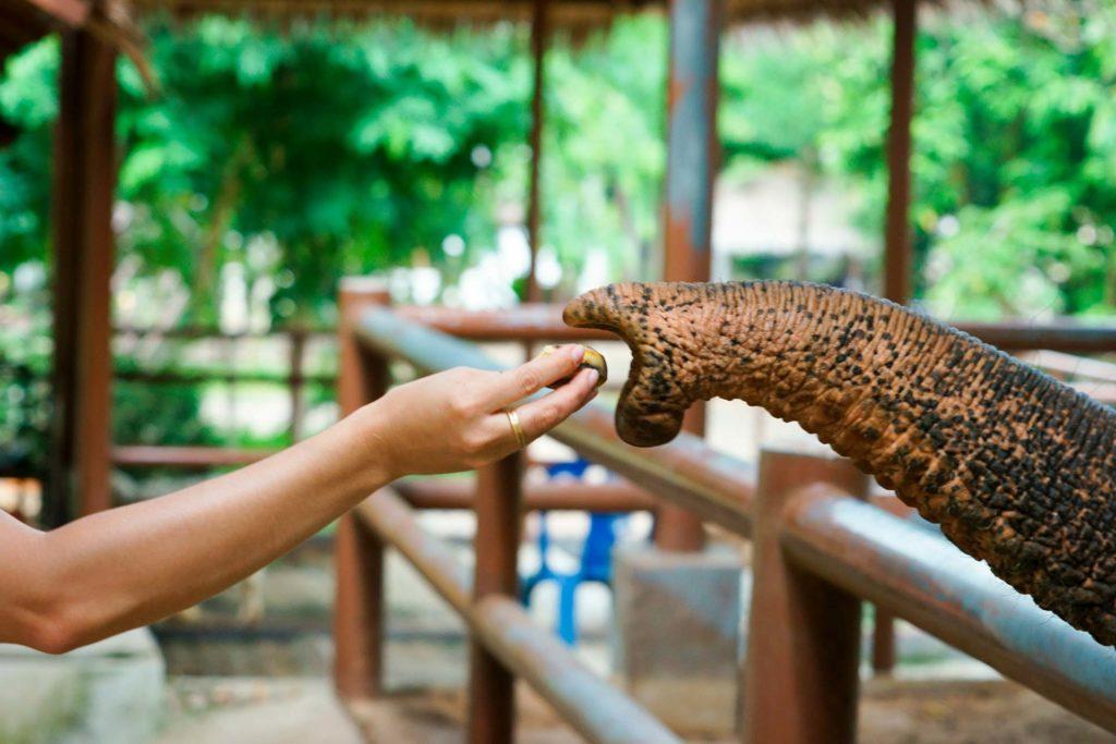 Soigneur animalier donnant à manger à un éléphant