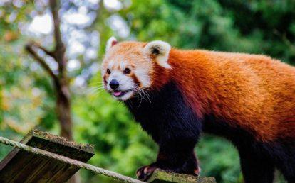 Panda roux sur une aire de jeux
