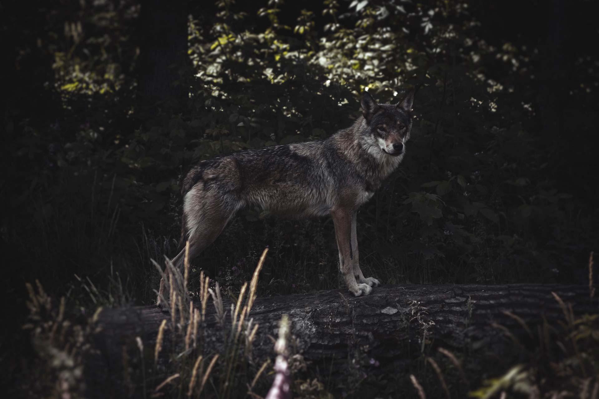 Loup solitaire du parc animalier Les Loups du Gévaudan