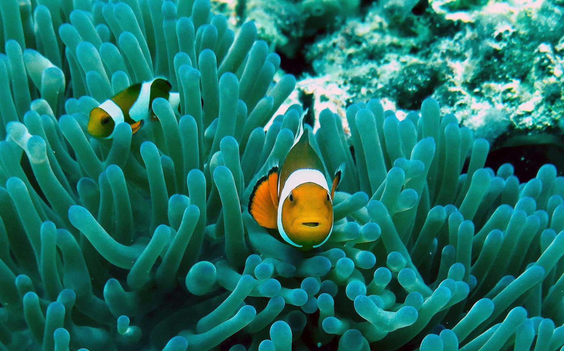 Poisson clown de l'aquarium de Monaco