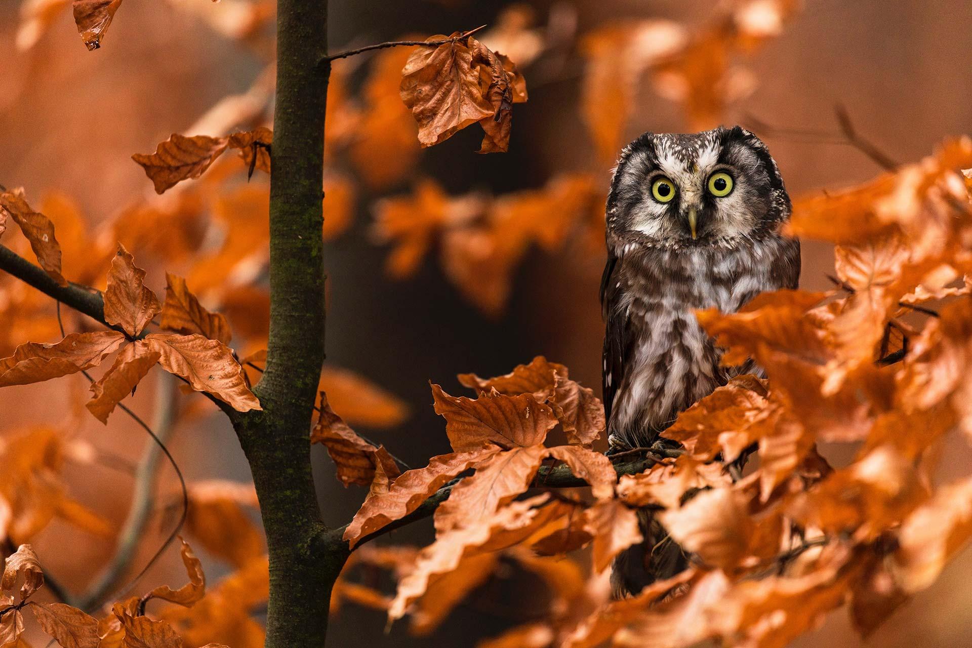 Chouette du Zoo d'Upie en automne