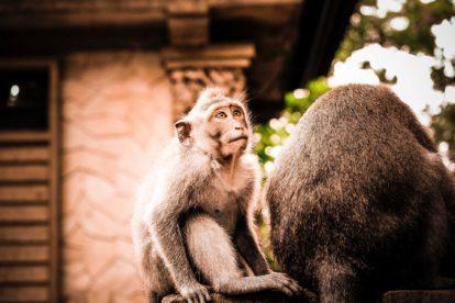 Famille de macaques de la Forêt des Singes