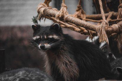 Raton laveur du parc animalier d'Ecouves