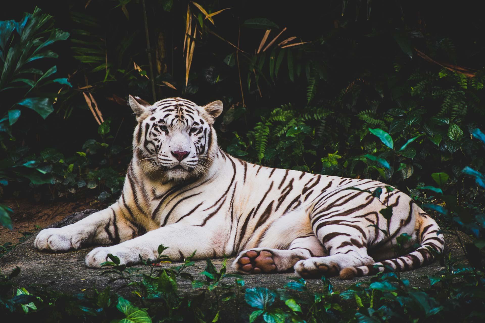 Tigre blanc du domaine des fauves