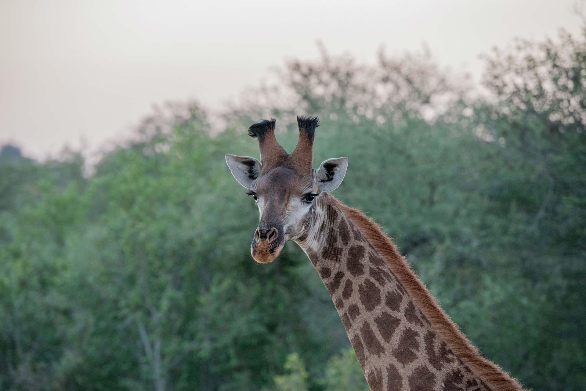 Girafe dans la nature