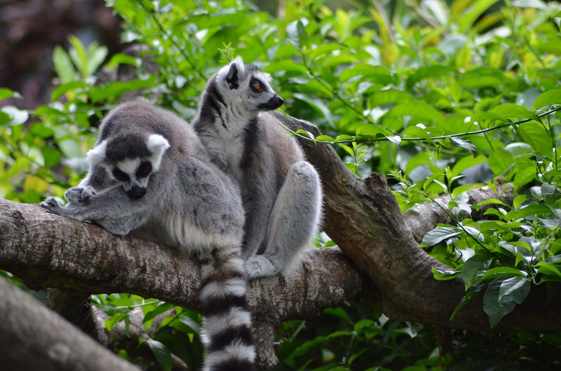 Deux lémuriens sur un arbre - Réserve Zoologique de Calviac