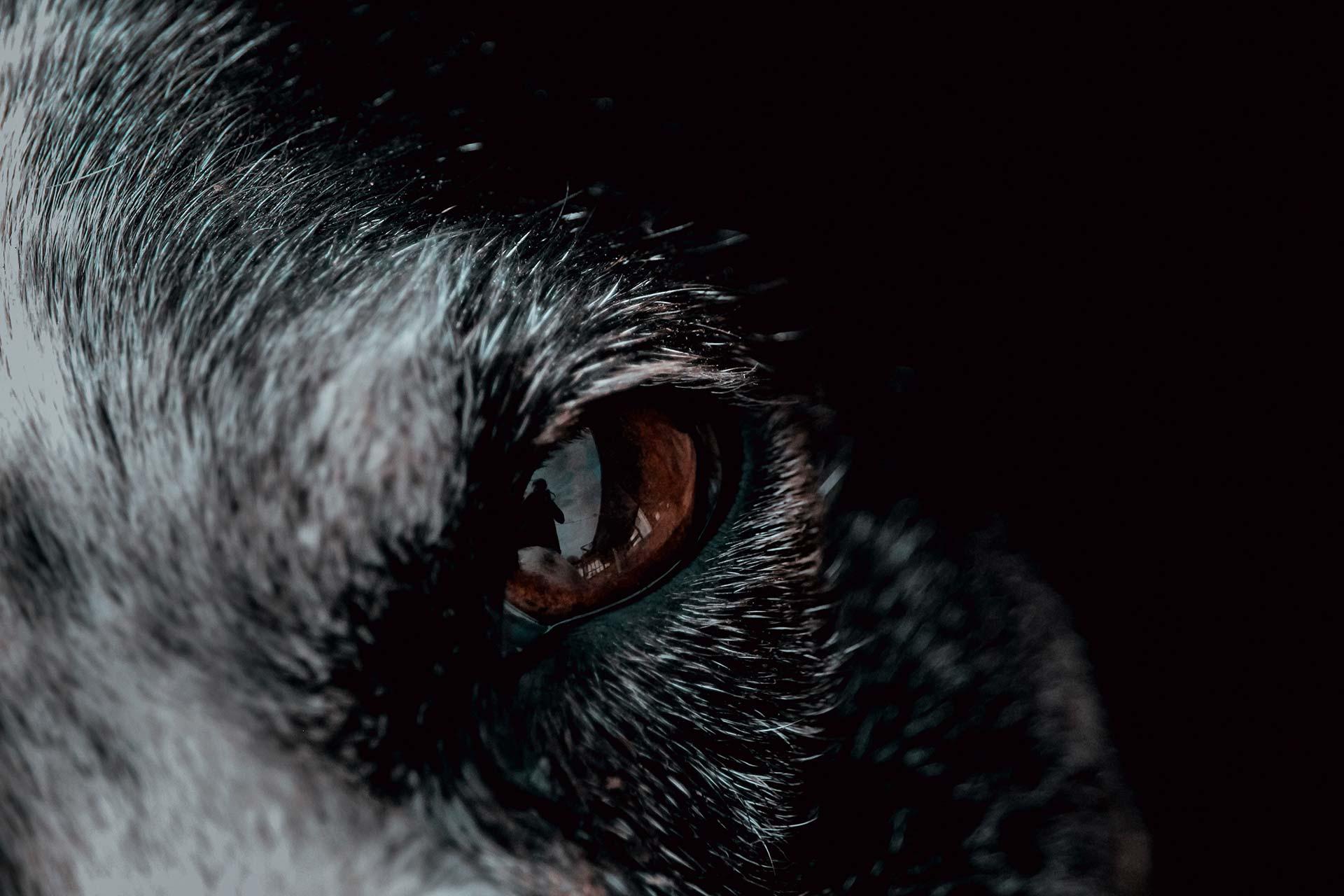 Gros plan sur un oeil jaune du loup