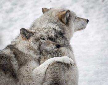 Deux loups blancs du Zoo de Pescheray