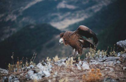 Vautour de la volerie des Pyrénées - Les Aigles d'Aure