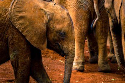 Jeune éléphant Zoo African Safari