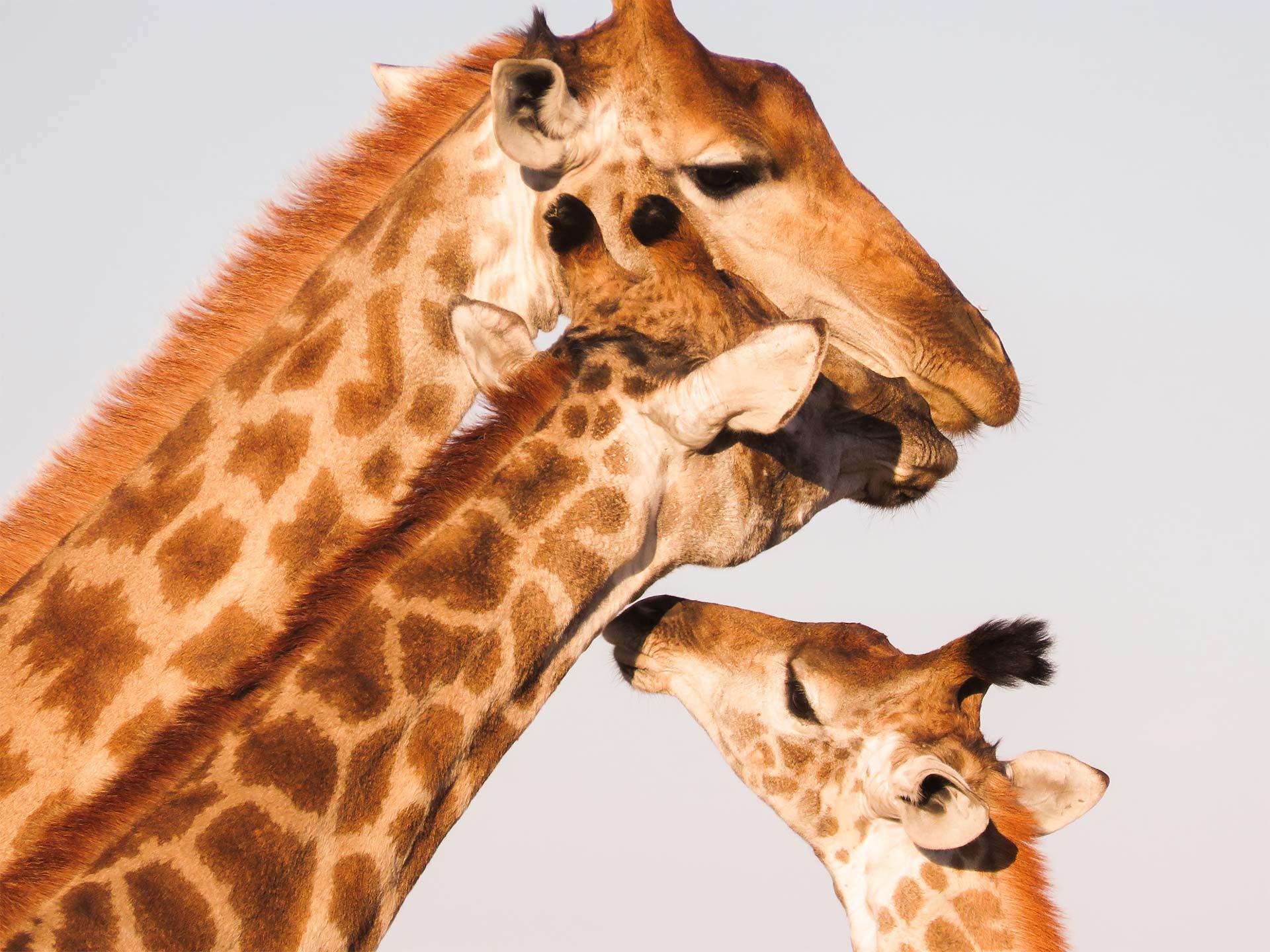 Famille de girafes