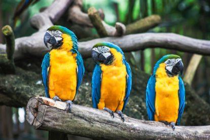 3 perroquets sur une branche