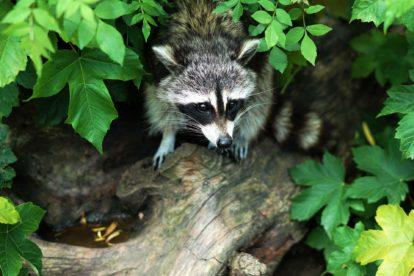 Raton laveur sur un arbre - Zoo de Fort-Mardyck